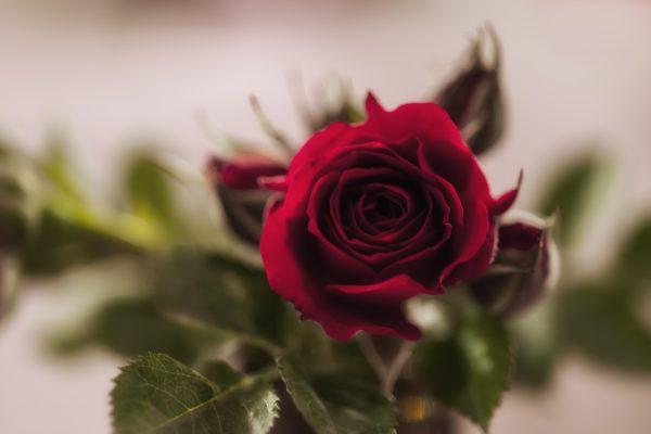 2015-05-02 68è concurs de roses_9425 como objeto inteligente-1