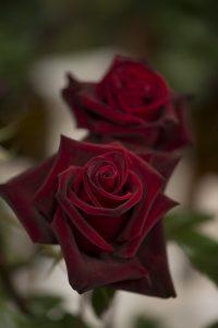 2017-05-06 70é concurs de roses_1340